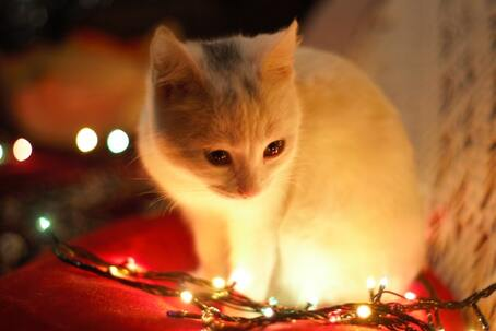 Kitten with Christmas lights